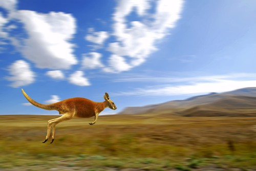 Kangaroo jumping through a field